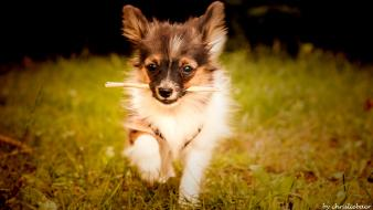 Nature animals grass dogs puppies papillon Wallpaper