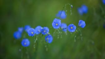 Nature flowers blue wildflowers blurred background wallpaper