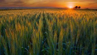 Valley golden california harvest wallpaper
