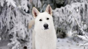 Winter white animals dogs game of thrones direwolf wallpaper