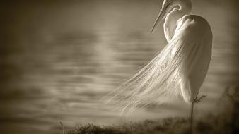 Birds sepia monochrome egrets wallpaper