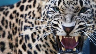 Close-up animals feline fangs leopards whiskers wallpaper