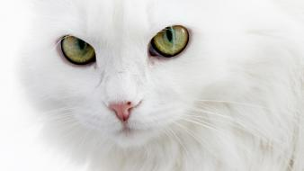 Eyes white cats animals wallpaper