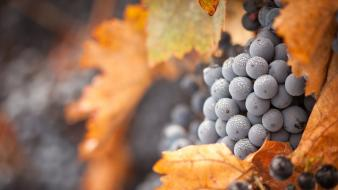 Grapes autumn wallpaper