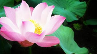 Nature flowers lily pads water lilies pink Wallpaper
