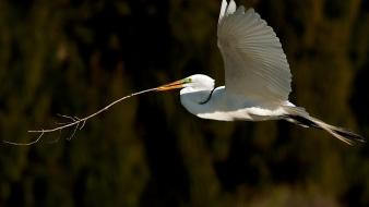 Nature great egret egrets twig birds wallpaper