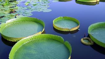Water nature lily pads wallpaper