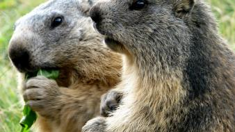 Animals eating marmots wallpaper
