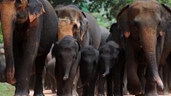 Animals elephants sri lanka baby elephant Wallpaper