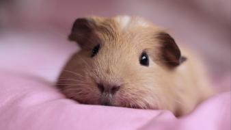 Animals guinea pigs pets wallpaper