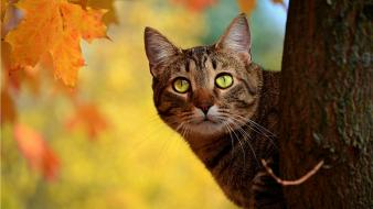 Animals leaves green eyes pets tabby autumn Wallpaper