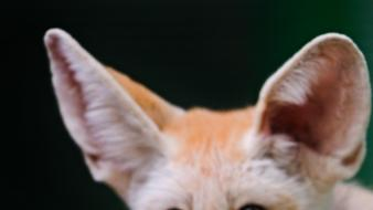 Animals wildlife fennec fox foxes Wallpaper