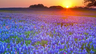 Country texas bluebonnet wallpaper