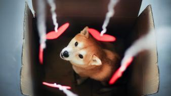 Dogs hearts shiba inu boxes wallpaper
