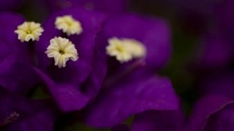 Flowers macro purple bougainvillea wallpaper
