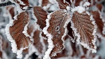 Ice nature snow leaves macro Wallpaper