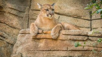 Nature animals mountain lions wallpaper