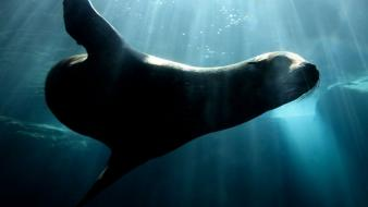 Nature animals sunlight sea lions underwater Wallpaper