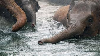 Nature animals swimming elephants baby elephant wallpaper