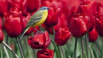 Tulips red flowers wagtails birds wallpaper