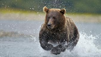 Alaska fishing national park brown bear wallpaper