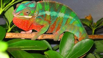 Animals chameleons lizards reptile reptiles chameleon wallpaper