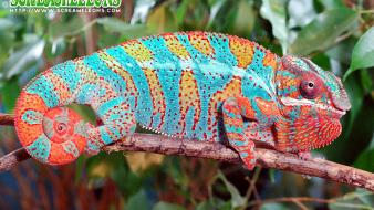 Animals chameleons supernova reptile reptiles chameleon wallpaper