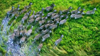 Animals grass zebras mac os x wallpaper