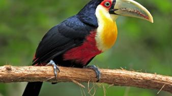 Brazil mato grosso toucans birds wallpaper