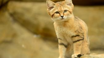Cats animals sand cat wallpaper