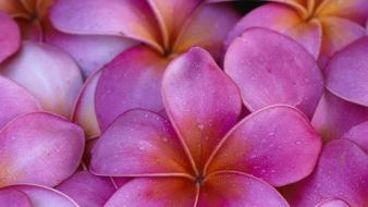 Flowers pink hawaii maui plumeria Wallpaper