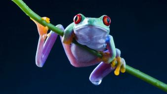 Frogs red-eyed tree frog amphibians wallpaper