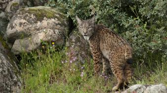 Lynx spanish spain parks sierra natural wallpaper