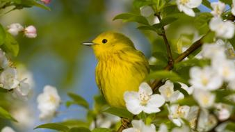 Ohio yellow warbler white flowers birds wallpaper