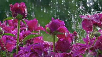 Rain flowers wallpaper