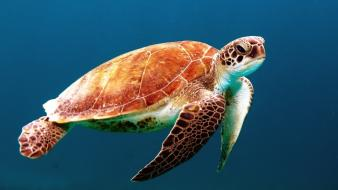 Turtles sealife wallpaper
