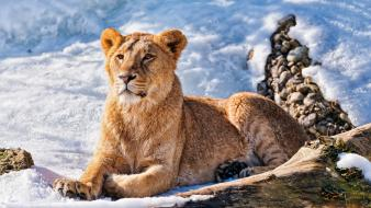 Winter snow animals lions wallpaper