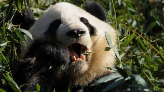 Animals food grass panda bears wallpaper