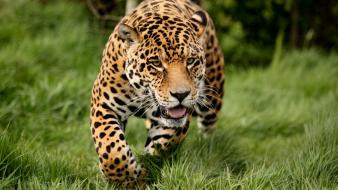 Animals grass leopards wallpaper