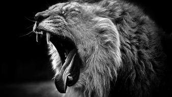Animals grayscale yawn lions wallpaper
