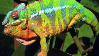 Blue animals chameleons bar reptile reptiles chameleon wallpaper