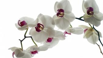 Flora orchids Wallpaper
