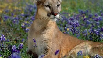 Flowers animals puma blue wallpaper