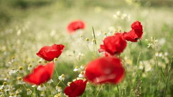 Flowers poppies wallpaper