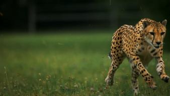 Grass cheetahs running Wallpaper
