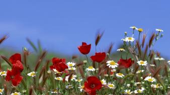 Landscapes nature flowers poppies daisies wallpaper