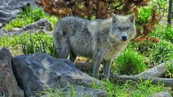 Nature animals grey wolf wolves wallpaper