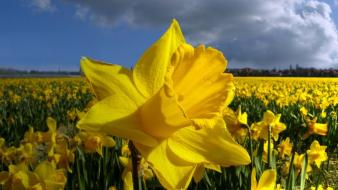Nature flowers fields daffodils yellow Wallpaper
