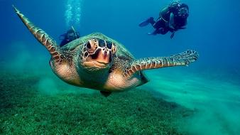 Ocean animals diver turtles Wallpaper