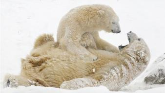 Snow animals cubs polar bears baby wallpaper